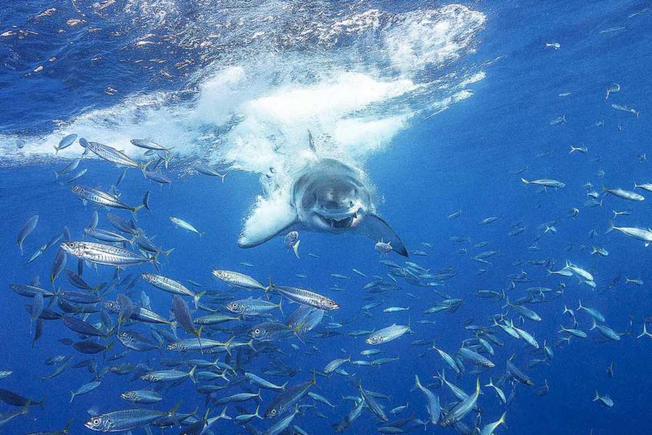 Full-speed Great White Shark, Guadalupe, Mexico