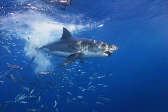 Great White Shark at high speed