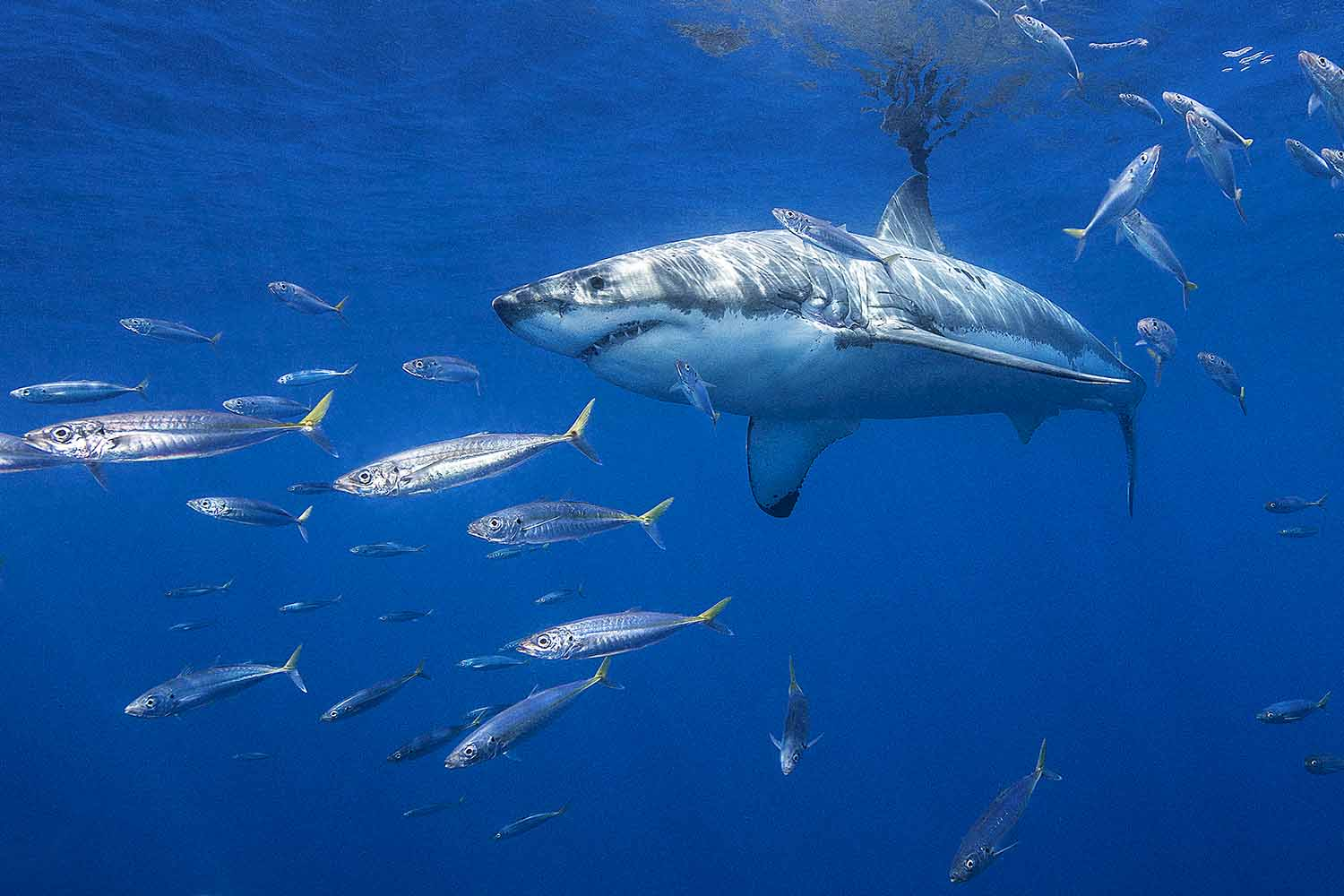 Great White Shark, Guadalupe, Mexico
