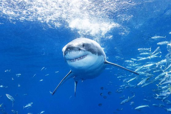 Great White Shark on fast approach, Guadalupe Island, Mexico