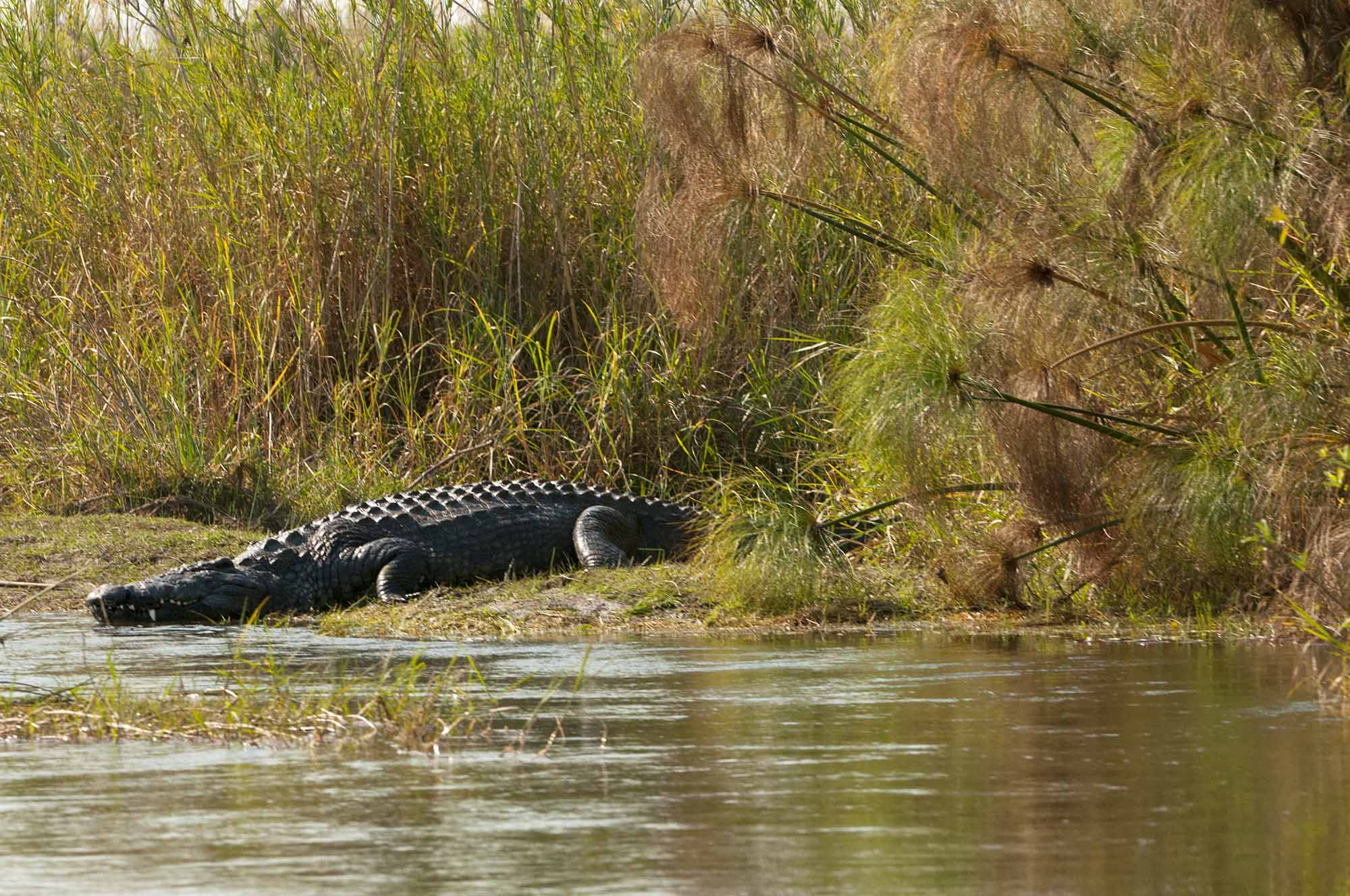Nile Crocodile Botswana