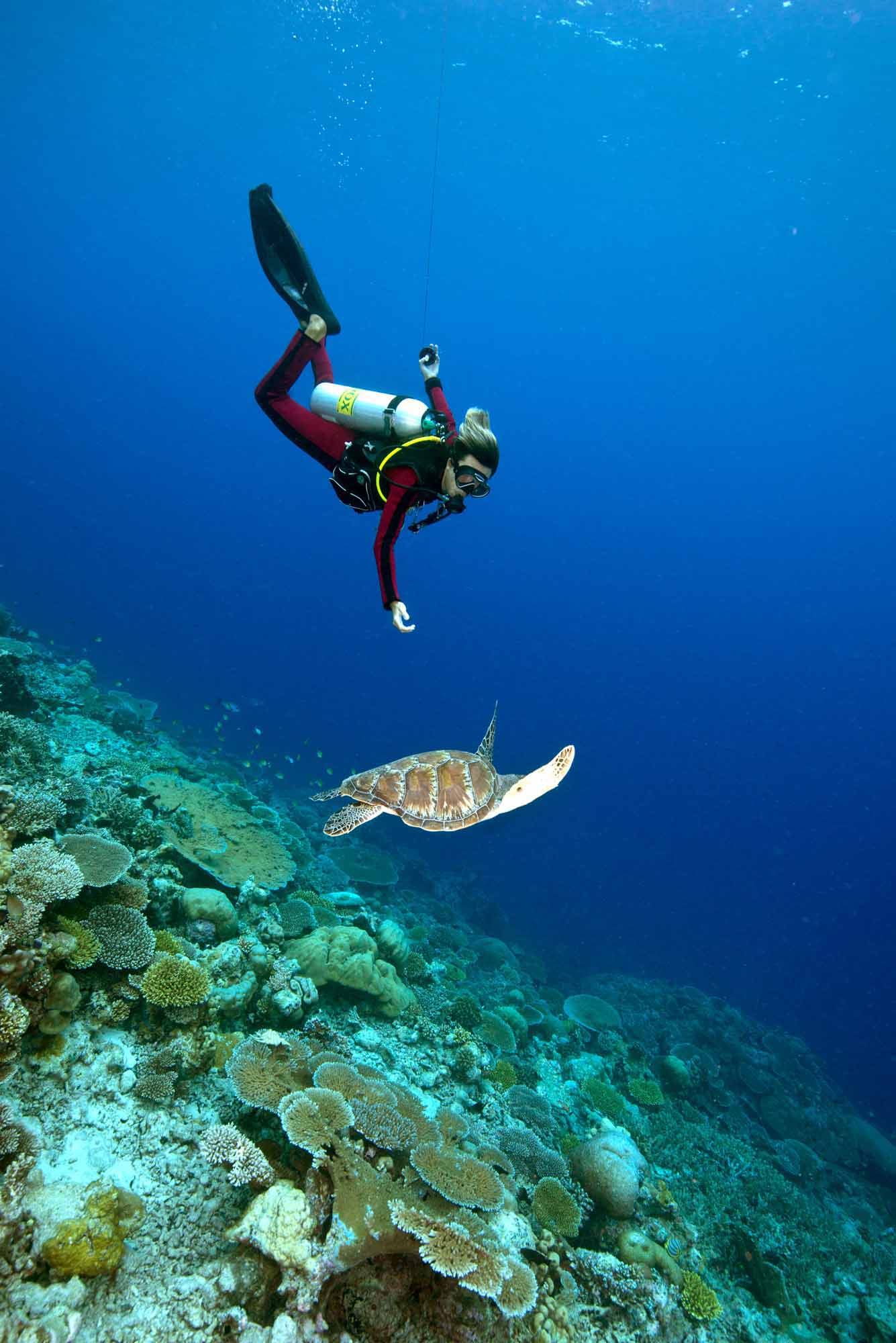 Figure 2: A diver and a Green Turtle interact off an outer wall of Gaafu Alifu Atoll.