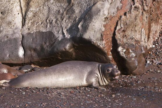Guadalupe Elephant Seal - the Great White's favorite prey